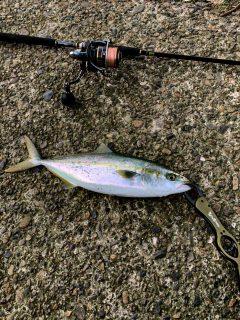 2月に入ってもまだまだ青物釣れてます!